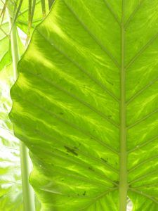 alocasia como cultivo de interiores