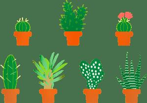 Aloe ferox suculentas