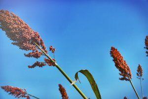 Siembra y cultivo de Aloe Ferox