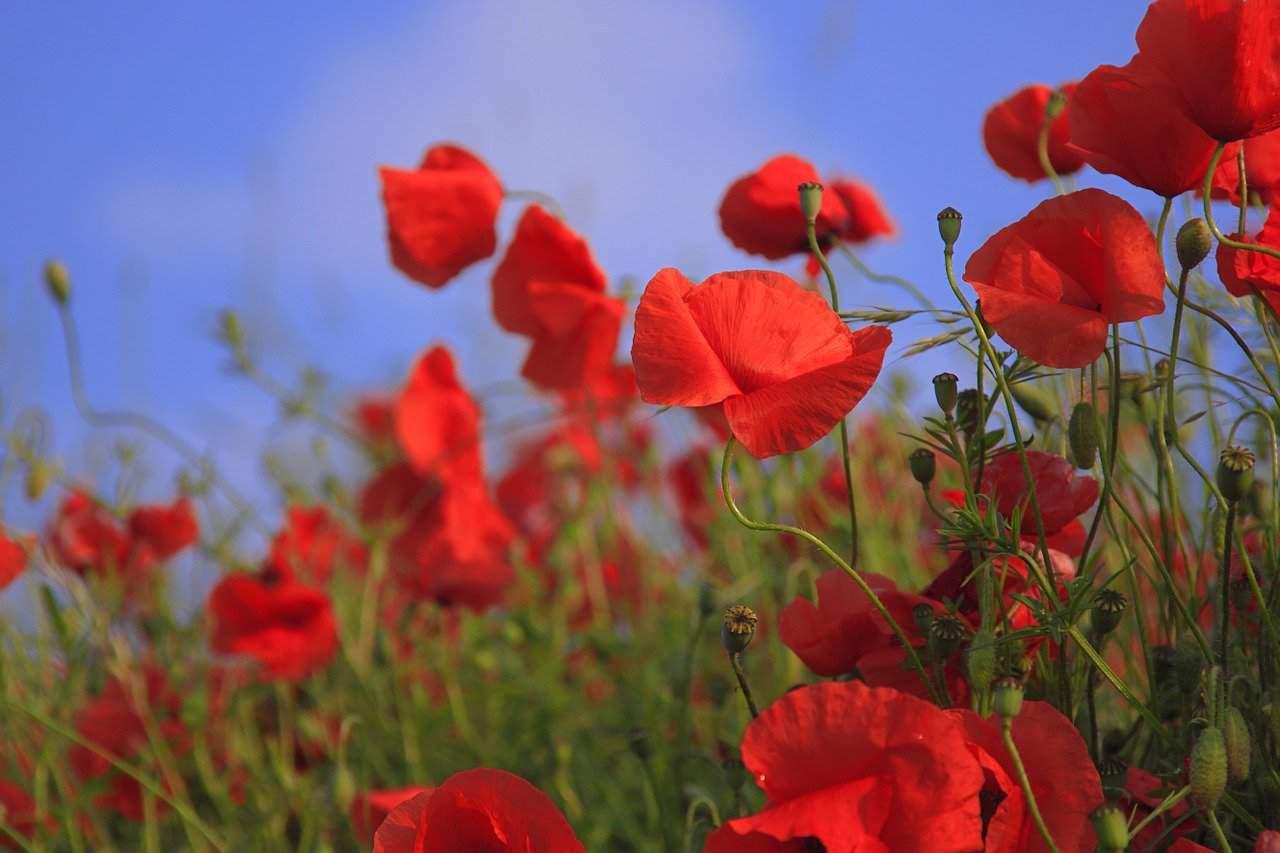 Flores de primavera amapolas