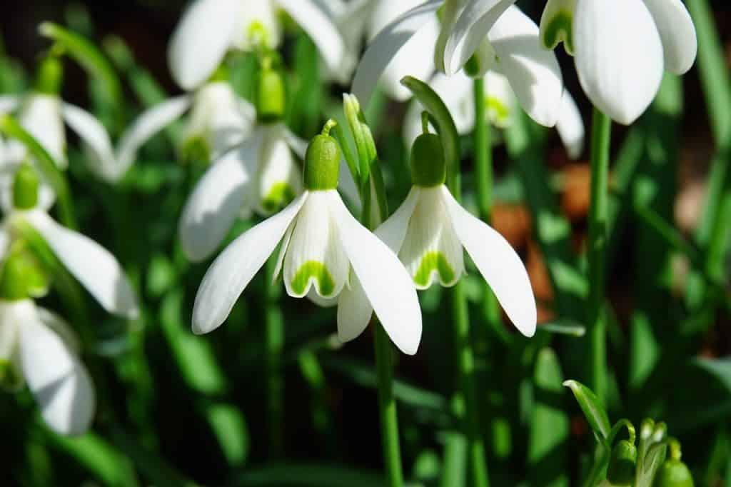 Amarilis flor blanca