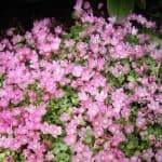 anagalis flor silvestre