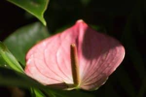 cómo se planta un anturio