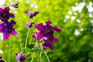 Cómo plantar una aquilegia vulgaris