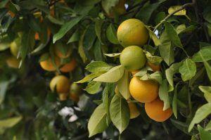 Cómo podar un naranjo enfermo sin dañar el árbol