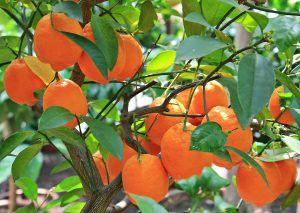 Por qué podar los naranjos enfermos
