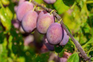 Cómo podemos detectar la falta de riego en los frutales recién plantados