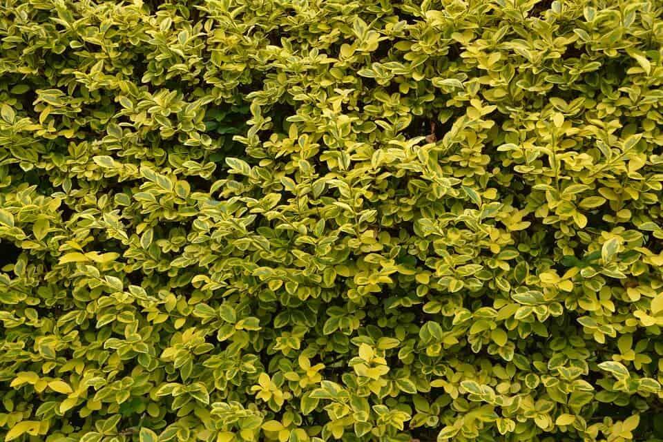 arbusto aligustre o aleña