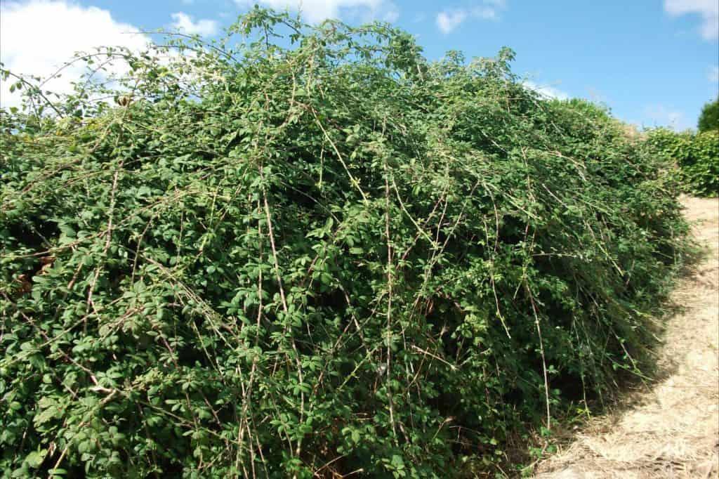 arbusto de zarzamora