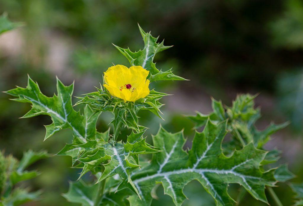 Argemone planta venenosa