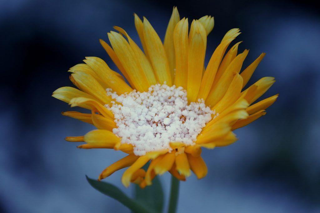Arnica de montana planta tóxica