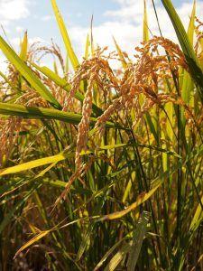 Plagas y enfermedades del arroz - Pudrición de la vaina