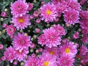 Flores de otoño aster