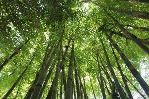 Cuándo es mejor llevar a cabo la poda del bambú