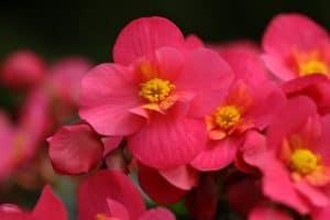 Plantas a las que pueden afectar - Begonia