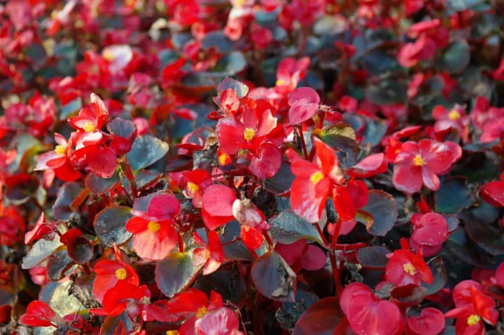 cómo plantar begonias