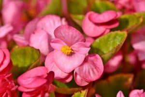 Flores de verano, las begonias