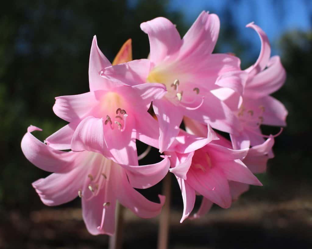 belladona plantas venenosas