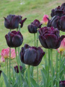 Características de las flores negras