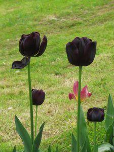 ¿Qué son las flores negras?