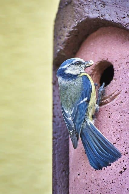 pájaros cerezo