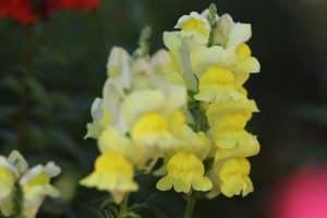 Boda de Dragón Flores de Primavera