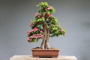 Por qué no crece un árbol de bonsái