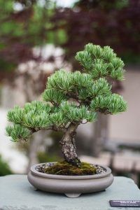Cómo plantar un bonsái paso a paso