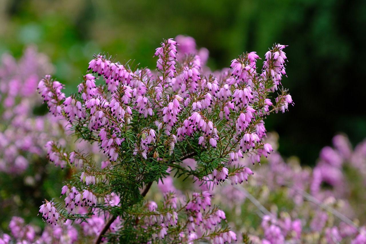 Plagas y enfermedades del brezo
