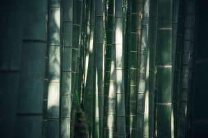 cómo cultivar bambú