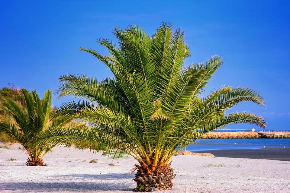 cómo cultivar palmeras