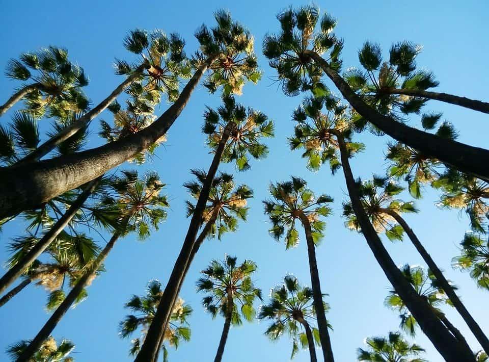 cómo plantar palmeras