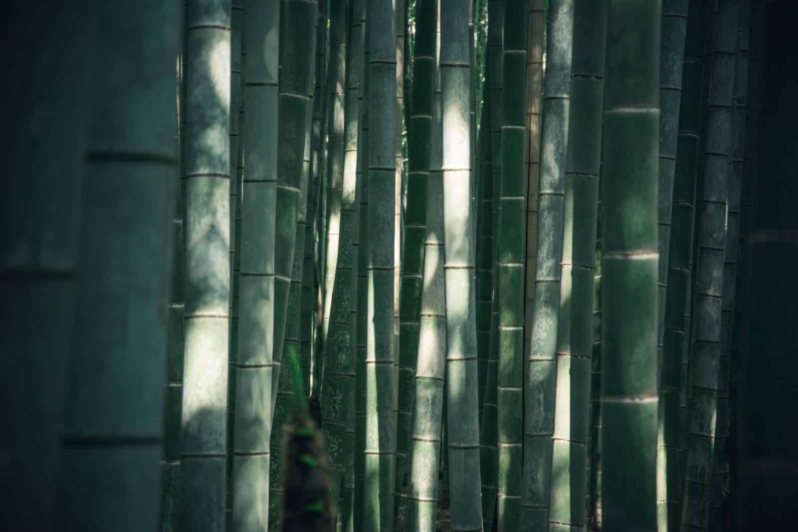 cómo regar el bambú