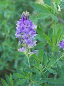 cómo sembrar alfalfa