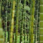 cómo sembrar bambú