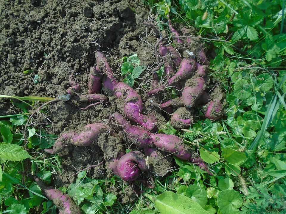 cómo sembrar batatas