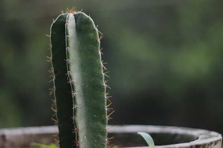cactus de san pedro