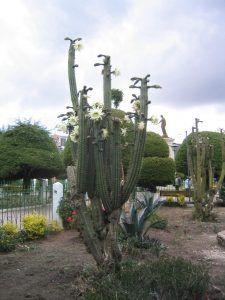 cactus de san pedro riego y cultivo