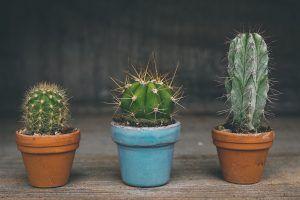 Cómo podemos detectar la falta de riego en el cactus