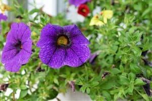 Cuidados y características de la Calibrachoa