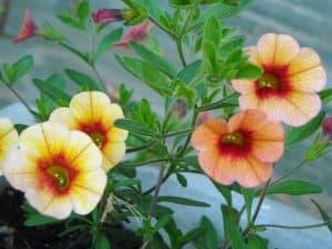 ¿Cuándo se debe cultivar la calibrachoa?