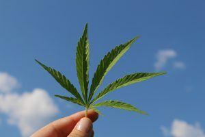 Tipos de plantas de cannabis