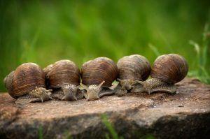 Qué plagas y enfermedades afectan a las alcaparras - Caracoles