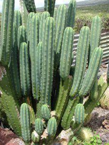 características del cactus de san pedro