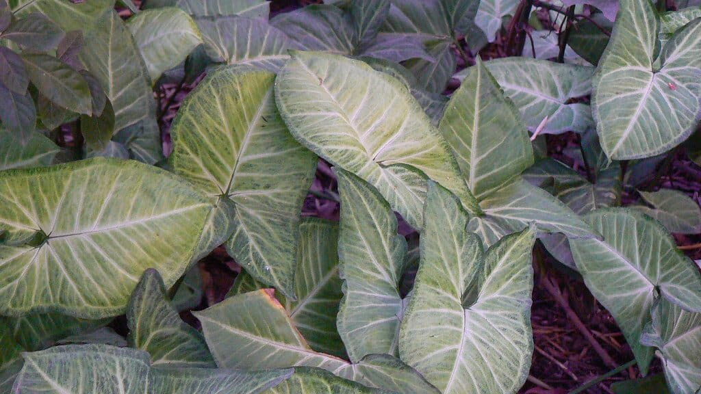 características del singonio o planta punta de felcha