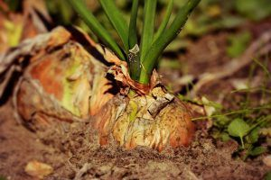 Plagas y enfermedades de la cebolla - Minador de la cebolla