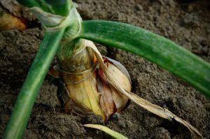 Cómo podemos detectar la falta de riego en las cebollas