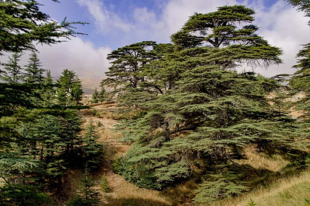 cedro del líbano perenne