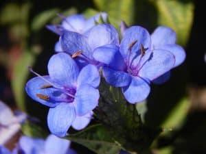 Cuidados de las flores azules
