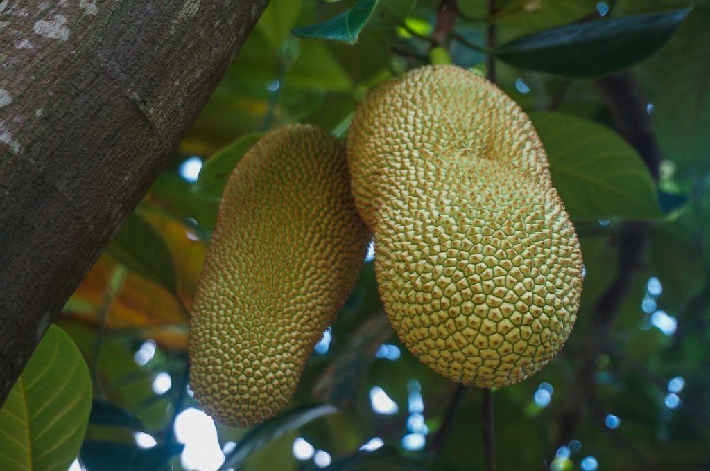 Frutas tropicales Cempedak